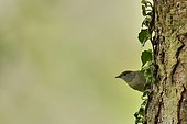 Blackcap (Sylvia atricapilla) female on a fir tree, Burgundy, France