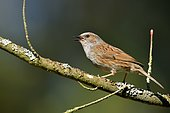Dunnock (Prunella modularis) on a red maple, Burgundy, France