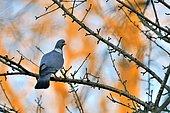 Wood pigeon (Columba palumbus) on a branch, Burgundy, France