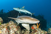 Nurse shark (Ginglymostoma cirratum) and Caribbean reef shark (Carcharhinus perezi) swimming above the reef in the Queen's Gardens National Park, Cuba