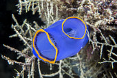 Orange-fringed blue sea squirt (Rhopalaea fusca), Cebu, Philippines
