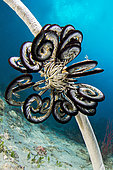Feather Star Crinoid (Cenometra bella), hanging on a whip coral, Philippines.
