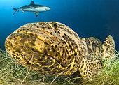 Goliath grouper (Epinephelus itajara) and Caribbean reef shark (Carcharhinus perezi), Queen's Gardens National Park, Cuba