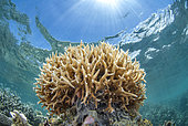 Staghorn coral (Acropora cervicornis), in front of N'Gouja beach, Mayotte