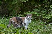 Domestic cat, Bas Rhin, Alsace, France