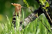Huppe fasciée (Upupa epops) sur une branche de Cerisier, Bourgogne, France