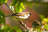 House sparrow (Passer domesticus) on a branch of Cherry, Burgundy, France