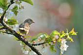 House sparrow (Passer domesticus) feon a branch of Cherry, Burgundy, France