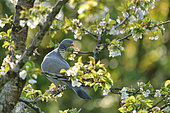 Wood pigeon (Columba palumbus) on a branch of Cherry, Burgundy, France