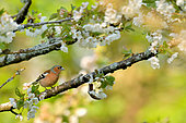 Chaffinch (Fringilla coelebs) male on a branch of Cherry, Burgundy, France