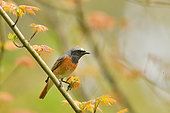Common Redstart (Phoenicurus phoenicurus) on a branch of Mapple, Burgundy, France