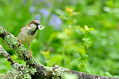House sparrow (Passer domesticus) on a branch, Burgundy, France