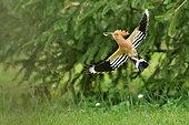 Hoopoe (Upupa epops) in flight with a larva in its beak, Burgundy, France