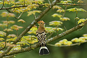 Hoopoe (Upupa epops) on a branch of Red Maple, Burgundy, France