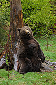 Grizzly Bear (Ursus arctos horribilis) adult sitting and leaning against tree, Alaska, USA