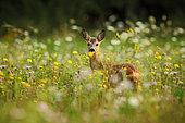 Western Roe Deer (Capreolus capreolus) in flowering meadow, Germany