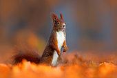 Eurasian Red Squirrel (Sciurus vulgaris) standing in colorful autumn leaves, Germany
