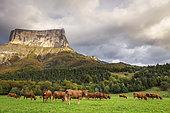 Mont Aiguille (2086m) and a herd of cows, Richardière, Le Trièves, Vercors regional natural park, Isère, France