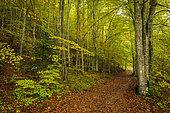 Beech undergrowth in autumn, Richardière, Le Trièves, Vercors regional natural park, Isère, France