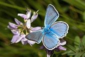 Meleager's blue (Polyommatus daphnis), Serre-Chevalier, Alpes, France