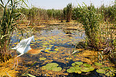 Squacco Heron (Ardeola ralloides) in a reed bed at Water lilies, Danube Delta, Romania