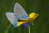 Greek Mazarine Blue (Cyaniris semiArgus) mating, Mercantour National Park, Alps, France