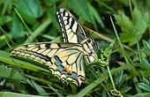 Swallowtail (Papilio machaon) female laying eggs, Vosges du Nord Regional Natural Park, France