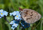 Moiré cendré (Erebia pandrose) sur Myosotis, Parc national du Mercantour, Alpes, France