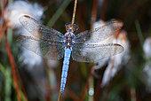 Keeled Skimmer (Orthetrum coerulescens) in dew, Vosges du Nord Regional Natural Park, France
