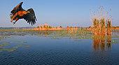 White-tailed eagle (Haliaeetus albicilla) in flight, Danube Delta, Romania