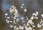 Honey bees (Apis mellifera) on Black Thorn (Prunus spinosa) in bloom, Vosges du Nord Regional Natural Park, France