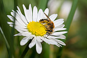 Sandpit Mining Bee (Andrena barbilabris) female on a daisy, Vosges du Nord Regional Natural Park, France
