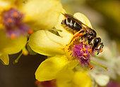 Carrot Mining Bee (Andrena nitidiuscula) on Black Mullein (Verbascum nigrum), solitary bees, Vosges du Nord Regional Nature Park, France