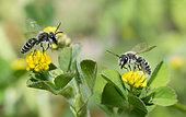 Andrene (Andrena ovatula) male on flowers of Lesser Clover (Trifolium dubium), solitary bees, Vosges du Nord Regional Nature Park, France