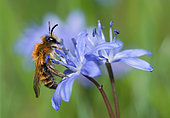 Gwynne's Mining Bee (Andrena bicolor) male on Squill (Scilla bifolia), solitary bees, Vosges du Nord Regional Natural Park, France