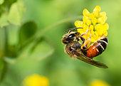 Solitary bee (Andrena schencki) on Lesser trefoil (Trifolium dubium) flower, solitary bees, Vosges du Nord Regional Natural Park, France
