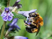 Potter Flower Bee (Anthophora retusa) male on Carpet Bugle (Ajuga reptans), Vosges du Nord Regional Natural Park, France