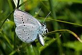Osiris Blue (Cupido osiris) female, Mercantour National Park, Alps, France