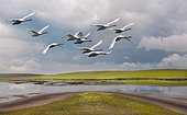 Mute swans (Cygnus olor) in flight, Murighiol lake, Bird sanctuary, Danube Delta, Romania