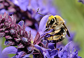 Long-horned bumble bee (Eucera seminuda) female on flowers, Danube Delta, Romania