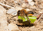 Willughby's Leaf-cutter Bee (Megachile willughbiella) female carrying a leaf to line her gallery, Regional Natural Park of Vosges du Nord, France