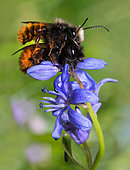 Hornfaced bee (Osmia cornuta) mating on Squill (Scilla bifolia), solitary bees, Vosges du Nord Regional Natural Park, France