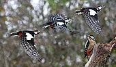 Pic épeiche (Dendrocopos major) en vol, Parc naturel régional des Vosges du Nord, France