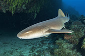 Nurse shark (Ginglymostoma cirratum), in the Queen's Gardens National Park, Cuba