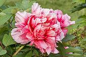 Paeonia suffruticosa 'Reine Elisabeth'
