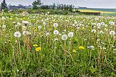 Dandelions in seeds in a meadow in spring, Pas de Calais, France