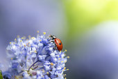 Twospotted lady beetle (Adalia bipunctata) on flower, Hauts de France, France