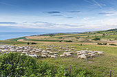 Eco-pasture at cap blanc-nez in summer, Pas de Calais, France