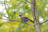 Eurasian Jay (Garrulus glandarius) on a branch in autumn, Moselle, France