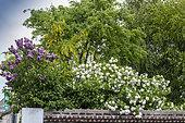 Common lilac (Syringa vulgaris), Wayfaring Tree (Viburnum lantana), Laburnum (Laburnum sp) in bloom in a garden in spring, Hauts de France, France